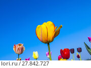 Купить «field with blooming colorful tulips», фото № 27842727, снято 19 ноября 2018 г. (c) PantherMedia / Фотобанк Лори