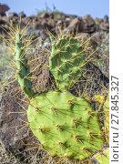 Купить «detail of large cactus», фото № 27845327, снято 19 февраля 2018 г. (c) PantherMedia / Фотобанк Лори