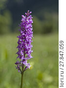 Купить «orchid in the moor», фото № 27847059, снято 22 июля 2019 г. (c) PantherMedia / Фотобанк Лори
