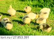 Купить «brood of goslings on the grass», фото № 27853391, снято 19 июня 2019 г. (c) PantherMedia / Фотобанк Лори