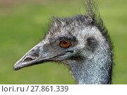 Купить «emu», фото № 27861339, снято 15 октября 2018 г. (c) PantherMedia / Фотобанк Лори