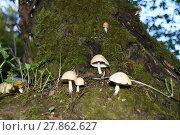 Купить «mushroom,mushroom,mushrooms,bark,tree,tree trunk,edible,poisonous», фото № 27862627, снято 20 мая 2019 г. (c) PantherMedia / Фотобанк Лори