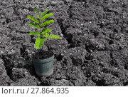 Купить «Young plant is prepared for planting on drought land», фото № 27864935, снято 17 июня 2019 г. (c) PantherMedia / Фотобанк Лори