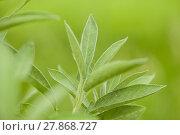 Купить «sage / kitchen sage / healing sage (salvia officinalis)», фото № 27868727, снято 25 марта 2019 г. (c) PantherMedia / Фотобанк Лори