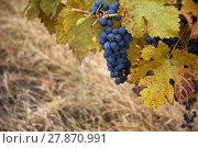 Купить «Pinot noir wine grape in autumn», фото № 27870991, снято 24 мая 2018 г. (c) PantherMedia / Фотобанк Лори
