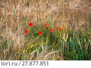 Купить «detail of a cornfield with blooming poppies», фото № 27877851, снято 18 января 2019 г. (c) PantherMedia / Фотобанк Лори