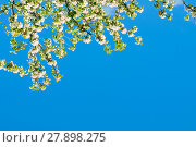 Купить «Blooming apple tree on the background of the blue sky - spring floral background», фото № 27898275, снято 4 июня 2017 г. (c) Зезелина Марина / Фотобанк Лори