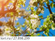 Купить «Spring flowers of apple tree blooming in the garden. Natural spring flower landscape», фото № 27898299, снято 4 июня 2017 г. (c) Зезелина Марина / Фотобанк Лори