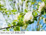 Купить «Spring flowers of blooming apple tree. Natural spring floral background in cold tones», фото № 27898379, снято 4 июня 2017 г. (c) Зезелина Марина / Фотобанк Лори