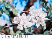 Купить «Spring white flowers of blooming apple tree. Natural spring flower background», фото № 27898491, снято 4 июня 2017 г. (c) Зезелина Марина / Фотобанк Лори