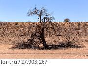 Купить «dry kgalagadi transfontier park», фото № 27903267, снято 26 мая 2019 г. (c) PantherMedia / Фотобанк Лори