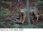 Купить «Wild Apennine wolf (Canis lupus italicus) pup carrying red deer (Cervus elaphus) hind head which it stole from other members of its family. Central Apennines...», фото № 27903343, снято 3 июня 2020 г. (c) Nature Picture Library / Фотобанк Лори