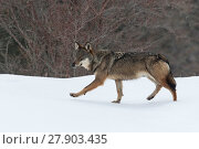 Купить «Wild Apennine wolf (Canis lupus italicus) in snowy landscape. Central Apennines, Abruzzo, Italy. February. Italian endemic subspecies.», фото № 27903435, снято 16 июля 2018 г. (c) Nature Picture Library / Фотобанк Лори