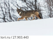 Купить «Wild Apennine wolf (Canis lupus italicus) in snowy landscape. Central Apennines, Abruzzo, Italy. February. Italian endemic subspecies.», фото № 27903443, снято 16 июля 2018 г. (c) Nature Picture Library / Фотобанк Лори