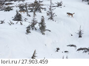 Купить «Wild Apennine wolf (Canis lupus italicus) adults moving in snowy landscape.  Central Apennines, Abruzzo, Italy. March. Italian endemic subspecies.», фото № 27903459, снято 16 июля 2018 г. (c) Nature Picture Library / Фотобанк Лори