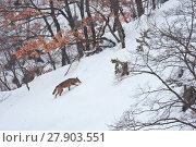 Купить «Wild Apennine wolf (Canis lupus italicus) adult climbing snowy mountain slope. Central Apennines, Abruzzo, Italy. February.  Italian endemic subspecies.», фото № 27903551, снято 3 июня 2020 г. (c) Nature Picture Library / Фотобанк Лори