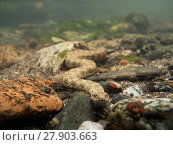 Купить «Viperine water snake (Natrix maura) on the bottom of a river. Pyrénées, France», фото № 27903663, снято 14 августа 2018 г. (c) Nature Picture Library / Фотобанк Лори