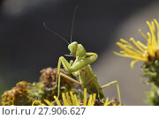 Купить «The female mantis religios. Predatory insects mantis», фото № 27906627, снято 17 июня 2019 г. (c) PantherMedia / Фотобанк Лори