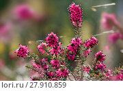 Купить «winter heath flowers», фото № 27910859, снято 21 февраля 2019 г. (c) PantherMedia / Фотобанк Лори