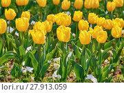 Купить «Flower Bed of Yellow Tulips», фото № 27913059, снято 21 февраля 2019 г. (c) PantherMedia / Фотобанк Лори