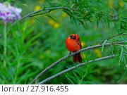 Купить «cardinal bird», фото № 27916455, снято 23 ноября 2019 г. (c) PantherMedia / Фотобанк Лори