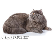 Купить «gray cat british straight lying on a white background», фото № 27928227, снято 18 февраля 2019 г. (c) PantherMedia / Фотобанк Лори