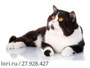 Купить «big black and white cat Scottish Straight lying, looking forward», фото № 27928427, снято 18 февраля 2019 г. (c) PantherMedia / Фотобанк Лори