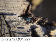 Купить «Ruby - tailed wasp», фото № 27931927, снято 17 июня 2019 г. (c) PantherMedia / Фотобанк Лори