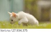 Купить «The white asian and thin kitten runs on a grass», видеоролик № 27934375, снято 11 февраля 2018 г. (c) Mikhail Davidovich / Фотобанк Лори