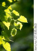 Купить «real hops (humulus lupulus)», фото № 27935863, снято 19 октября 2018 г. (c) PantherMedia / Фотобанк Лори