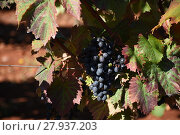 Купить «grapes,grapes,berries,wine,white wine,red wine,vines,tendrils», фото № 27937203, снято 22 января 2019 г. (c) PantherMedia / Фотобанк Лори