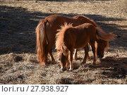 Купить «horse,horses,pony,foal,grazing,meadow,pasture,mane», фото № 27938927, снято 20 мая 2019 г. (c) PantherMedia / Фотобанк Лори