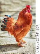 Купить «Brown Leghorn Rooster», фото № 27941807, снято 16 июля 2019 г. (c) PantherMedia / Фотобанк Лори