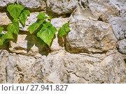 Купить «Green English Ivy», фото № 27941827, снято 22 сентября 2019 г. (c) PantherMedia / Фотобанк Лори