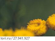 Купить «Macro of a Yellow Inch Worm», фото № 27941927, снято 21 сентября 2018 г. (c) PantherMedia / Фотобанк Лори