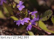Купить «Purple verbena flower on a green background in a summer garden», фото № 27942991, снято 19 января 2019 г. (c) PantherMedia / Фотобанк Лори