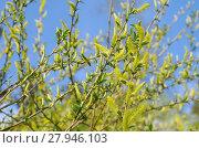 Купить «Цветущая ива (лат.Salix), или ракита на фоне голубого неба», фото № 27946103, снято 19 мая 2017 г. (c) Елена Коромыслова / Фотобанк Лори