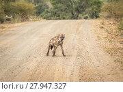 Купить «Spotted hyena on the road.», фото № 27947327, снято 16 октября 2018 г. (c) PantherMedia / Фотобанк Лори