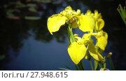 Купить «Iris pseudacorus yellow flag, yellow iris, water flag, lever is a species in the genus Iris, of the family Iridaceae», видеоролик № 27948615, снято 19 декабря 2009 г. (c) Куликов Константин / Фотобанк Лори