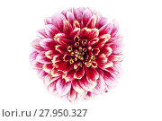Купить «Single red flower of aster  isolated on white background, close up», фото № 27950327, снято 22 октября 2018 г. (c) PantherMedia / Фотобанк Лори