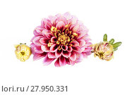 Купить «Single red flower of aster with buds  isolated on white background», фото № 27950331, снято 18 января 2019 г. (c) PantherMedia / Фотобанк Лори