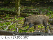 Купить «wild boar in the undergrowth», фото № 27950507, снято 16 января 2019 г. (c) PantherMedia / Фотобанк Лори