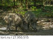 Купить «wild boar in the undergrowth», фото № 27950515, снято 16 января 2019 г. (c) PantherMedia / Фотобанк Лори