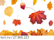 Купить «yellow and red leaves falling on leaf litter», фото № 27965227, снято 19 января 2019 г. (c) PantherMedia / Фотобанк Лори