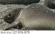 Купить «Seal rookery on the coastline of Atlantic Ocean. Punta Ninfas place, Argentina», видеоролик № 27976879, снято 19 января 2015 г. (c) Алексей Кузнецов / Фотобанк Лори