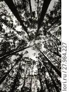 Купить «Forest silhouette looking up», фото № 27984227, снято 21 мая 2019 г. (c) PantherMedia / Фотобанк Лори