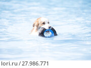 Купить «Dog, Border Collie, swimming and holding a toy», фото № 27986771, снято 16 июня 2019 г. (c) PantherMedia / Фотобанк Лори
