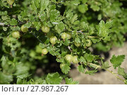 Купить «Gooseberries in the garden on a bed. Young leaves of gooseberry», фото № 27987267, снято 22 октября 2018 г. (c) PantherMedia / Фотобанк Лори