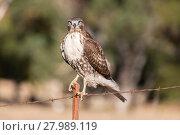 Купить «Red-tailed Hawk - Buteo jamaicensis, Juvenile», фото № 27989119, снято 16 сентября 2019 г. (c) PantherMedia / Фотобанк Лори
