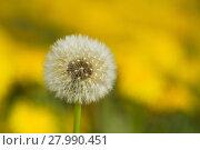 Купить «yellow dandelions on green meadow 4», фото № 27990451, снято 17 августа 2018 г. (c) PantherMedia / Фотобанк Лори